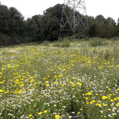 A field of yellow flowers at Clayton Vale