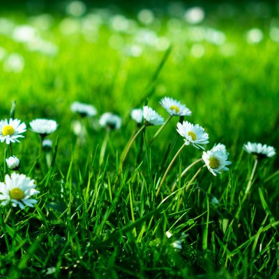 Stock photograph of a close up of daises on a patch of grass
