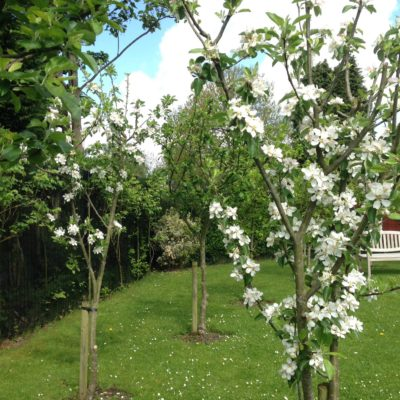 The beautiful blossom trees at Mirfield Community Gardens in Blackley.