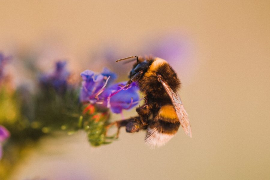 A bee perched on a small blue flower.