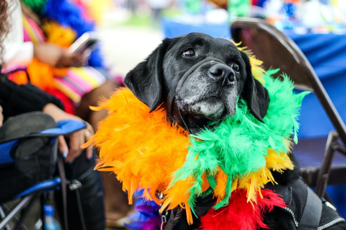 A dog wears a brightly coloured feather boa around its collar.
