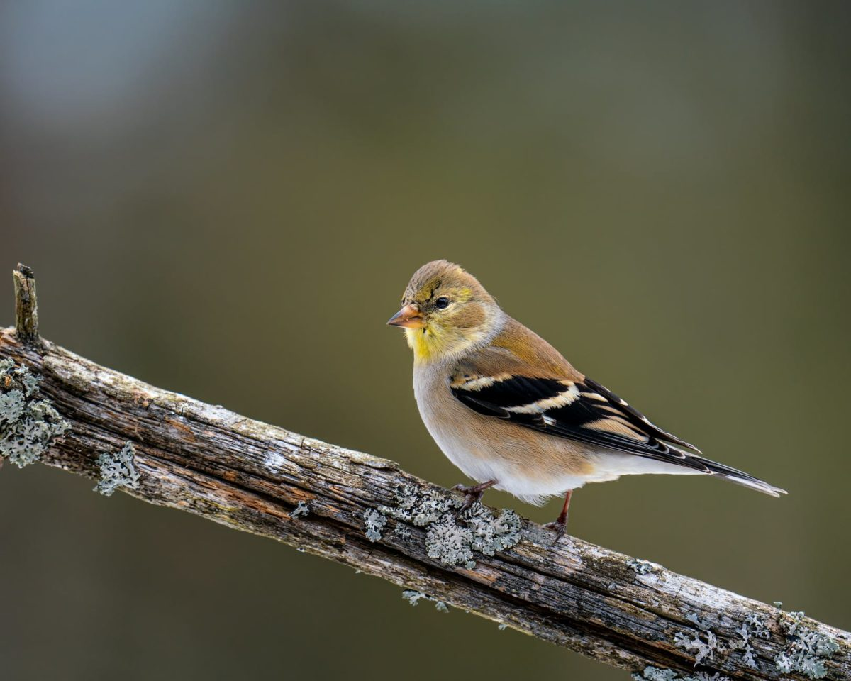 A goldfinch sits on the branch of a tree.