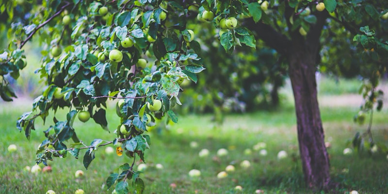 An apple tree with lots of ripe fruit
